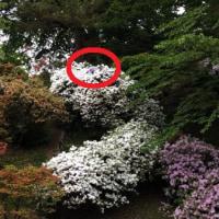 千秋公園のツツジを彩る花