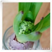 リベンジ*ヒヤシンスの水栽培