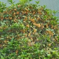 キンモクセイは二度咲く