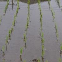 稲の苗は順調に育っています