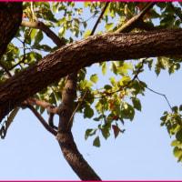 樹上のカマキリ