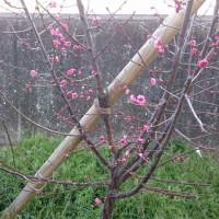 寒紅梅が咲いていましたぁ~