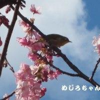メジロをはじめ、野鳥が遊びにきます。枝先にとまった鳥たちは、花の中へ・・・