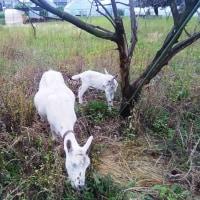 武蔵境 山中南公園前の山羊さん パート2