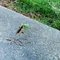 我が家の庭で雌のカマキリが雄を捕食中!脚は食べないようです!人間の雄に生まれてヨカッタ!