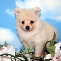ポメラニアン・クリーム販売!/宮城・仙台ペットショップ子犬/石巻市/女川町
