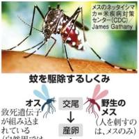致死遺伝子保有のオスの蚊、地球を救うかも?