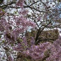 楽書き雑記「名古屋の寺の境内に咲く『桐の花』を見てきました」