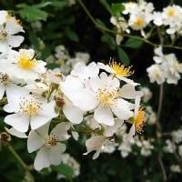 卯の花の匂う垣根に♪