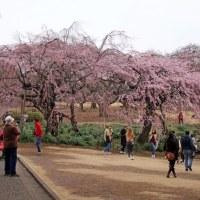 東京(六義園 小石川後楽園 東郷寺なども) 関東の樹齢400年など 主な枝垂桜の開花情報