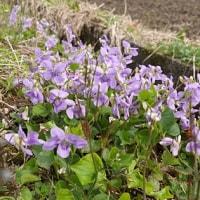 近くの里山で春の植物観察