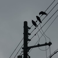 aves 530