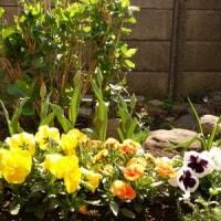 咲いた咲いたチューリップの花が ♪ ♪ ♪