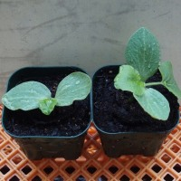 カボチャ雪化粧を移植、オクラの芽が出揃う。