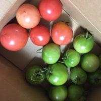 トマトが!