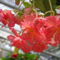 広島市植物公園 「ベゴニア」