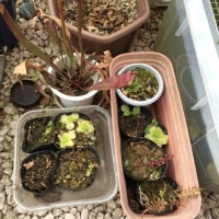生まれ変わる食虫植物コーナー