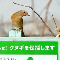 2017北本自然観察公園・・・冬の小鳥さんに逢いに来ました・・・ジョウビタキのお嬢さんです