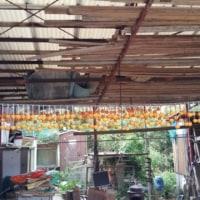 干し柿大量