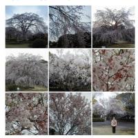 2009-03-23千葉みなと公園。こんな桜が間もなく見れます。
