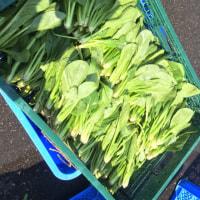 トンネル栽培の小松菜です
