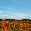 キバナコスモス畑も綺麗
