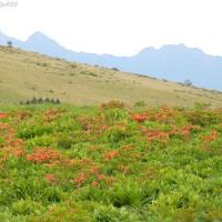 信州 霧ヶ峰高原のレンゲツツジ と ノビタキ