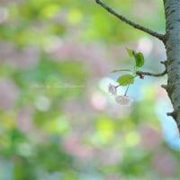 八重桜:4月23日