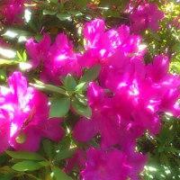 庭の花(オオムラサキ)