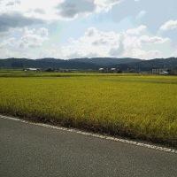 稲刈り目前