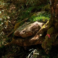 大台ヶ原登山「岩を囲い込む」