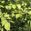 ブルーベリー収穫開始