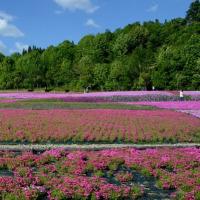 魚沼 芝桜まつり・・1