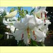 百合の花(カサブランカ)