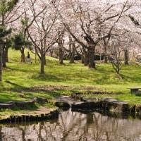 菊が丘公園の桜の風景