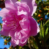 『春の花』 花桃