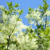 白い雪をかぶったようなナンジャモンジャ(ヒトツバタゴ)が満開に。。双葉より芳しいセンダン(栴檀)の薄紫の花も開花。