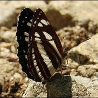 舞う蝶々。