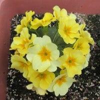 プリムラ いろんな色が咲いている
