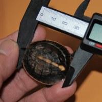 セマルの測定
