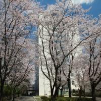 獨協大学の桜