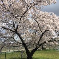 春は花見か?おだんごか?