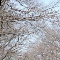 上生菓子【夜桜】&開花状況