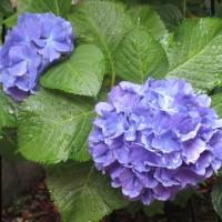 我家の庭の花 6月中旬