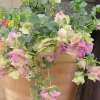 我が家の花達6月P2