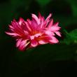 茶碗蓮 (花 4513)