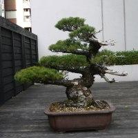 内田洋行の立派な盆栽