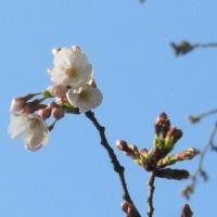 よしの桜2・3輪開花・長居公園・大阪市。  17・3月28日