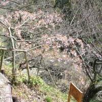 多摩自然科学園の桜8