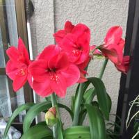 赤いアマリリス